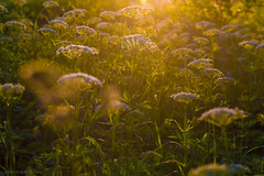 03-2013_06_12_21-__ (Yury Augulis) Tags: sunset summer nature beauty grass      2013