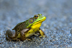 Northern Green Frog (Mitch Vanbeekum Photography) Tags: frog northern greenfrog ranaclamitans northerngreenfrog canon5dmkiii canonef500mmf4is canon14teleconvertermkiii