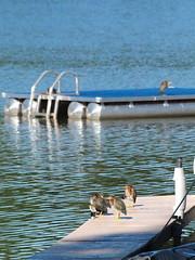 Lazy morning on the dock . . . (Dr. Farnsworth) Tags: blue summer water birds mi dock young earlymorning westlake lazy ripples swimraft july2013 littlegreenherons