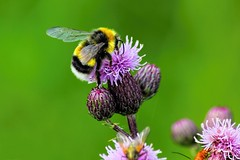 Bombus hortorum (D-Noc) Tags: macro canon garden denmark bees meadow insects bee bumblebee paintshoppro danmark dpp topaz jylland nordjylland gardenbumblebee 55250mm topazdenoise eos60d topazdetail3 topazclarity