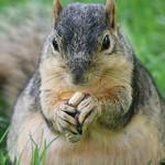 Squirrel at the University of Michigan (July 15, 2013) thumbnail