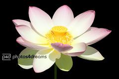 pink lotus flower (photos4dreams) Tags: plants plant macro lotus frankfurt pflanze pflanzen makro palmengarten garten ffm seerose botanischer lotos nelumbo lotosblte lotosblume photos4dreams photos4dreamz p4d