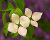 Souls Blossom (Northern Straits Photo) Tags: flower oregon spring dogwood ireenaworthy northernstraitsphotography oregonbotanicalgarden davidcobbphotoworkshops
