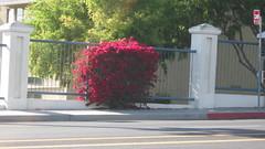170659 (frayser) Tags: california flower blossom bougainvillea bloom april shrub signalhill lbc cherryavenue