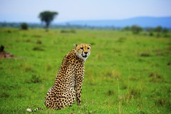 Purr (Kupl.) Tags: africa wild nature animal canon landscape rebel kenya safari purr cheetah tupac savanna t3i
