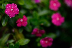 Flower Bokeh. 85mm 1.8G (DigitalCanvas72) Tags: flower nature water contrast drops bokeh blurr nikond7000 85mm18g nikon85mm18g nikkor85mm18g