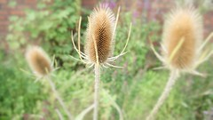 DSC09312 (leylaaaa) Tags: wild plants flower macro green nature up field photography focus close wheat wilfflower
