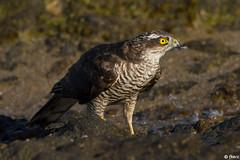 Epervier d'Europe (fbarz) Tags: france bird ile noirmoutier 85 oiseau rochers vende grve eurasiansparrowhawk accipiternisus accipitriformes lherbaudire epervierdeurope herbaudire accipitrids