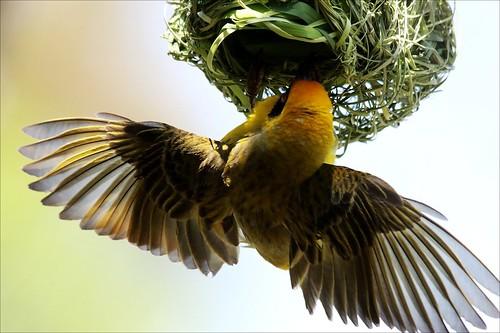 Swartkeelgeelvink, Southern Masked Weaver 1
