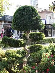Anglų lietuvių žodynas. Žodis topiary reiškia figūrinio medžių karpymo menas lietuviškai.