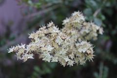 Henna Flower (Vijay_Murugan) Tags: india flower henna tamilnadu erode marudhani maruthani thindal canond600 canonrebelt3i vijayamurugan