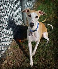 Autumn Shadows (DiamondBonz) Tags: autumn shadow dog pet hound whippet spanky dogchal