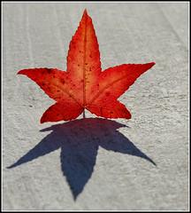 Maple Leaf (tina777) Tags: gardens leaf maple vale glamorgan dyffryn