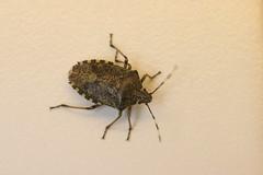 Parent Bug - Grimbergen, Belgium