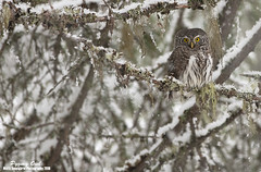 Varpuspöllö (mattisj) Tags: birds aves lumi maisema eläimet strigiformes fåglar kasvit linnut strigidae puut kuusi luonnonilmiöt glaucidiumpasserinum eurasianpygmyowl pöllöt varpuspöllö sparvuggla pöllölinnut