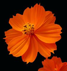 Cosmos (Puzzler4879) Tags: flowers orange cosmos pointshoot canonpowershot orangeflowers canondigital canonaseries canonphotography perfectpetals canonpointshoot a580 canona580 canonpowershota580 powershota580 naturewithallitswonders