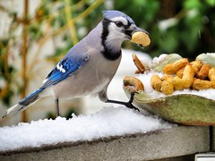 Untitled photo (steenowitz) Tags: ny newyork bird birds backyard cardinal bluejay longisland canonsx50hs
