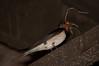 Swallow nesting