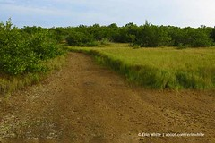 Trail through the saltgrass (Erin *~*~*) Tags: infocus highquality plantidentification saltgrass distichlisspicata leecountyflorida conservation2020 buttonwoodpreserve