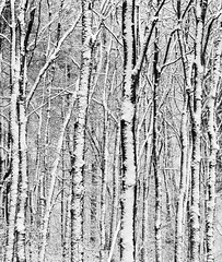 Snow covered trees (Kees Waterlander) Tags: winter bw other zwartwit nederland thenetherlands places drenthe exloo