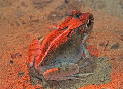 MAD13_02711a (jerryoldenettel) Tags: amphibian frog madagascar anura 2013 ankarafantsikanationalpark ankarafantsika mantellidae laliostomalabrosum laliostoma madagascartrip laliostominae