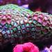 zoanthus vert et rouge - Aquarium récifal - Photographie © Stéphane Duquesne