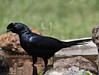 Bristle-crowned Starling (Rainbirder) Tags: kenya baringo onychognathussalvadorii bristlecrownedstarling rainbirder
