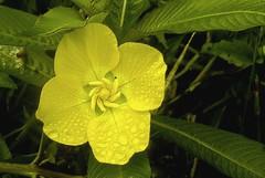 Singeleza (Maz Parchen) Tags: del natureza flor jardim cataratas floramarela florselvagem parchen iguazmisionesargentinamazmaz