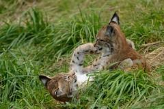 Eurasian Lynx Kittens Playing (Ami 211) Tags: lynx bigcats felidae felinae eurasianlynx lynxcubs lynxlynx lynxkittens lynxkittensplaying lynxcubsplaying