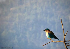 Neelkanth (Indian Roller) (eneron9) Tags: blue brown india bird photoshop photography focus bright wildlife indian roller fujifilmfinepixs4800