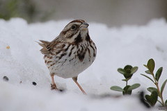 Something To Sing About (Diane Marshman) Tags: winter brown white snow bird eye nature face birds dark neck season breast pennsylvania song stripes wildlife chest small feathers spot pale pa sparrow underneath streaked northeast northeastern