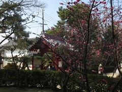 境内の紅梅の木