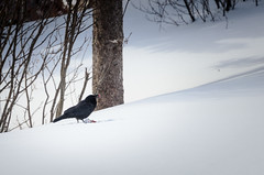 The Crow (Tk_White) Tags: trees snow bird lunch nikon berries feathers crow 70300mm d7000