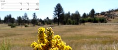 Over 4,000,000 views; yellow flower, unknown (Martin LaBar) Tags: california flowers lake flower landscape insects conifers cuyamaca sandiegocounty 4000000views