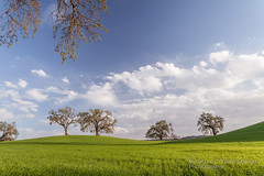 Almost Spring (flygrl67) Tags: california blue sky white tree green grass clouds march oak quercus country centralcoast pastoral puffy idyllic winecountry pasorobles sanluisobispocounty