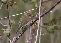 chiffchaff (colin 1957) Tags: nature birds wildlife warbler birdwatcher migrant chiffchaff languardfort