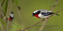 Cherry-throated Tanager - Nemosia rourei -Saíra-apunhalada_Nemosia rourei