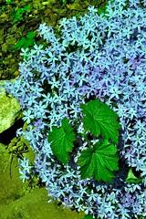 Artful Upstart (Dan Daniels) Tags: flowers flowersplants rockgardens audand
