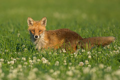 Hunting Red Fox (Wouter's Wildlife Photography) Tags: nature animal denmark mammal wildlife fox vixen vos redfox vulpesvulpes zoogdier ræv pattedyr moervos