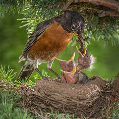 American Robin Feeding Chicks (Jerry Fornarotto) Tags: red baby tree bird nature ecology robin grass animal wings adult feeding outdoor eating wildlife birth beak mother feather conservation chick parent american tiny environment perched hungry ornithology reproduction americanrobin begging avian thrush songbird vertebrate redbreasted zoology redbreastedrobin jerryfornarotto