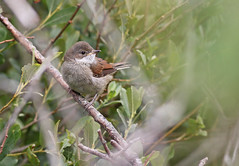 A87A0901 Common whitethroat (juv) (steve.ray50) Tags: sandwich 2015 gullies