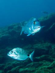 White Bream (Størker) Tags: dykking fisk friluftnatur natur reiser undervannsbilder undervannsnatur tenerife canaryislands spain esp