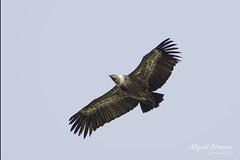 Buitre leonado (Gyps fulvus) (mlorenzovilchez) Tags: buitreleonado gypsfulvus aves estrechodegibraltar nikond7200 tamron150600 griffonvulture algeciras bahíadealgeciras