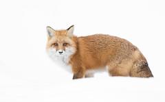 Red fox (missymandel) Tags: m g ggg specanimal