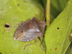 Photo of Common Green Shieldbug - Palomena prasina