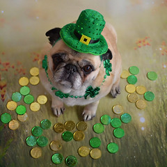 The Pot Of Gold At The End Of My Rainbow (DaPuglet) Tags: pug pugs dog dogs stpatricksday animal animals pet pets green irish leprechaun gold patrick paddy potofgold rainbow ireland shamrock clover costume hat lucky coins luck explore