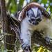 Geoffroy's tamarin monkey - wild titi monkeys gamboa panama pandemonio 2017 - 05