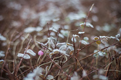 Winter (martabergamo) Tags: winter rugiada frost denmark bokeh leaves 50mm rami