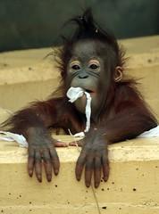 orangutan Sabbar Ouwehands BB2A2896 (j.a.kok) Tags: orangutan orangoetan orang mammal zoogdier ape aap monkey mensaap primaat primate borneo sumatra asia azie ouwehands ouwehandsdierenpark sabbar