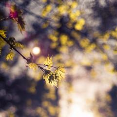 Sparkling leaves (c_c_clason) Tags: leica leaves spring sweden stockholm bokeh summicron m8 40mm summicronc leicam8
